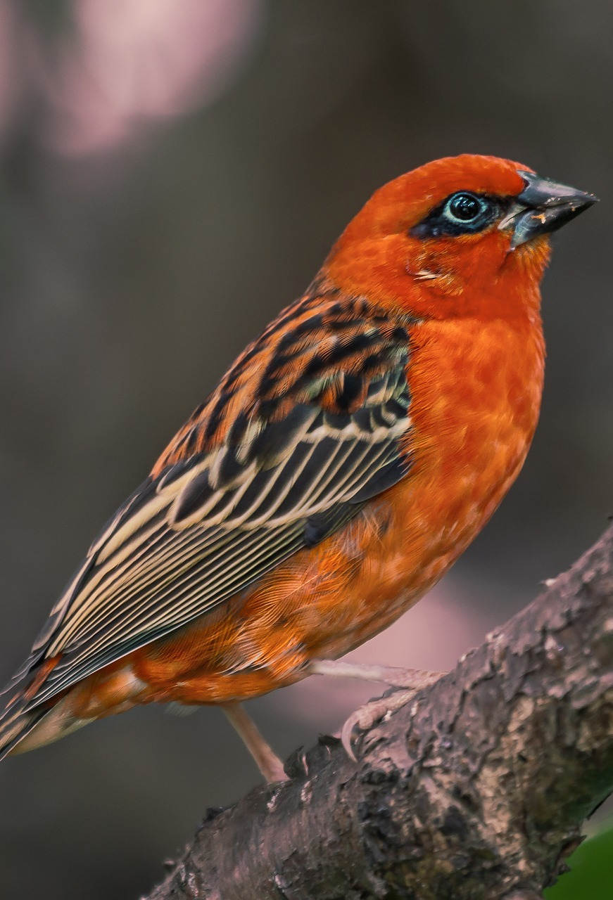 Picture of a red fody bird.