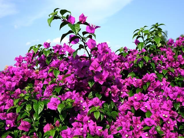 hoa giay dep nhat 1
