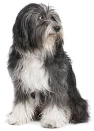 Anjing Ras Tibetan Terrier