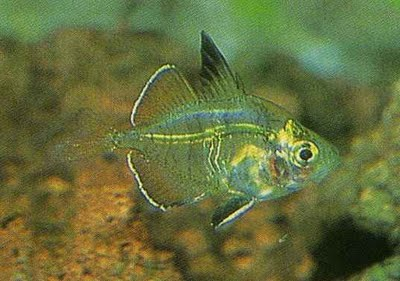 Aquarium Fishes Indian Glass Fish Information