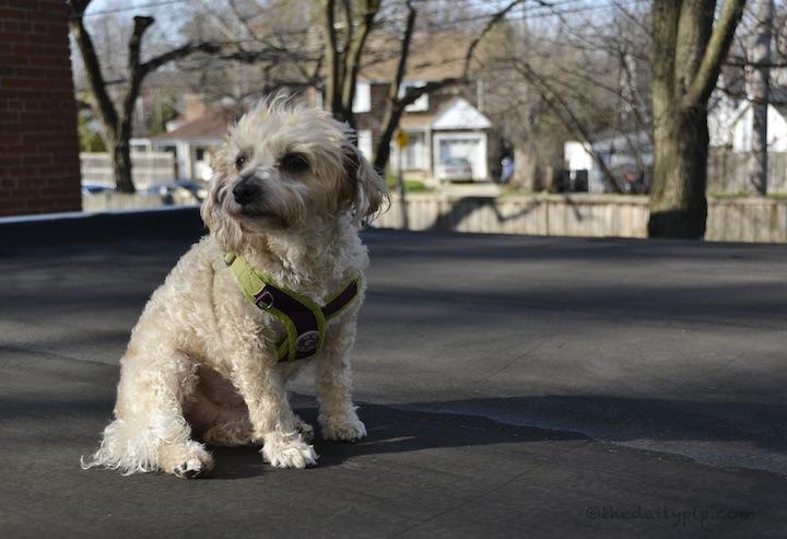 Yorkiepoo on roof special needs adoption