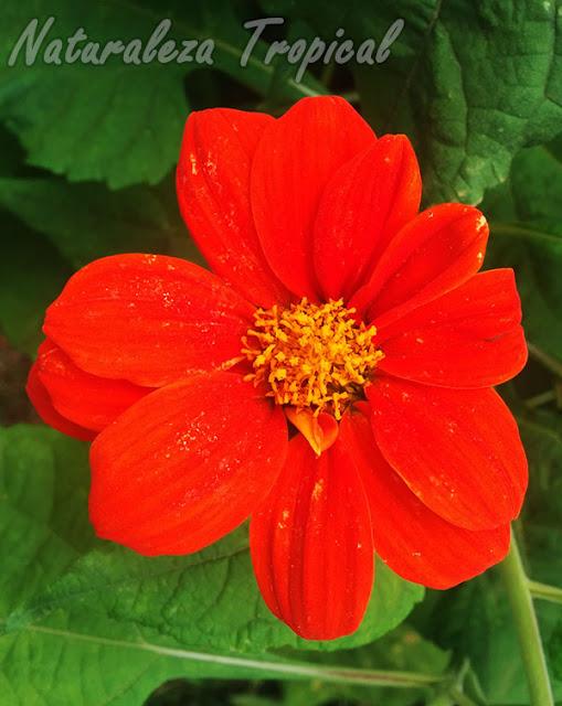 Flor característica del Girasol Mexicano, Tithonia rotundifolia