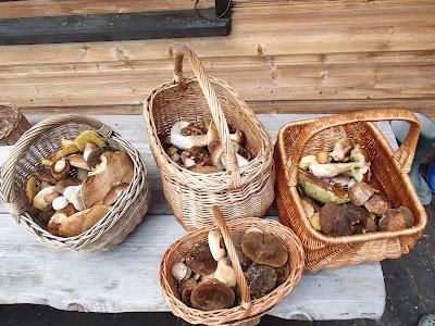 grzyby na Orawie, grzyby w lipcu, grzyby 2016, Lejkowiec dęty Craterellus cornucopioides, borowik szlachetny Boletus edulis, jadalne borowiki, murszak rdzawy - Phaeolus schweinitzii