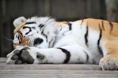 Tiger at Paradise Wildlife Park