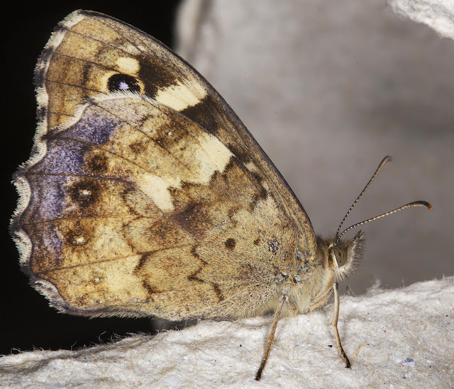 Speckled Wood, Pararge aegeria.  In my garden light trap in Hayes on 13 July 2015