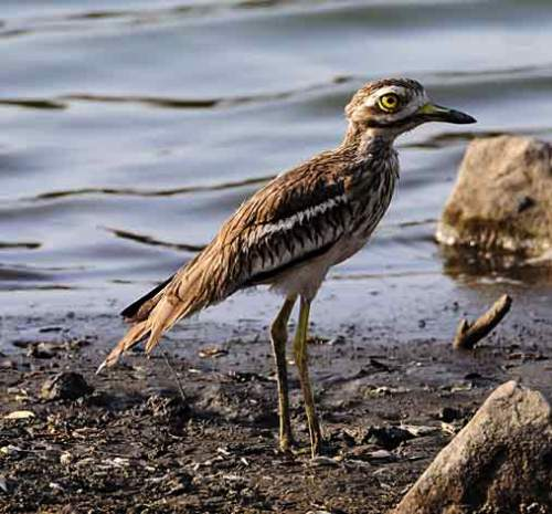 Image of Indian thick-knee - Burhinus indicus