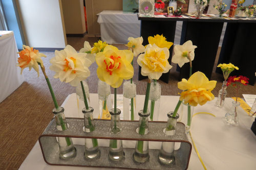 a selection of daffodils at a flower show