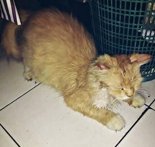 Penyakit Pada Kucing Kampung dan Cara Mengobatinya