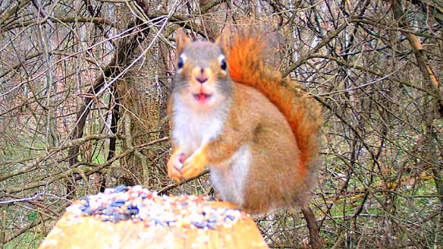 Red Squirrel on Trail Game Camera