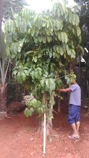 harga jual tanaman walisongo batang besar