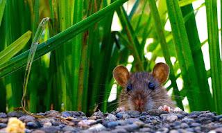 Ini Dia 8 Alasan Kenapa Harus Gunakan EXTRO Pengusir Tikus