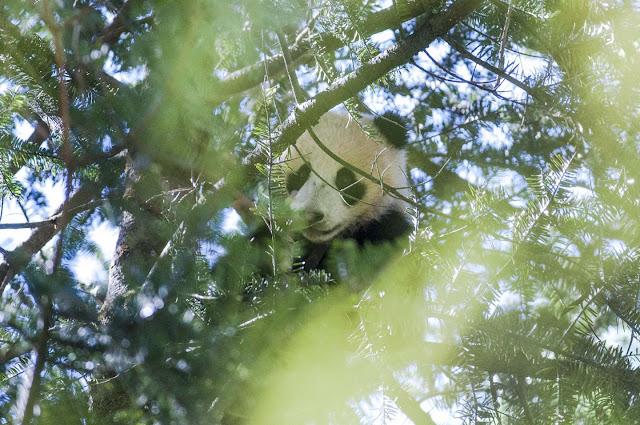 Keeping pandas off endangered list ledge