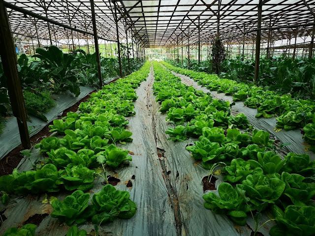 金马仑有机蔬菜园