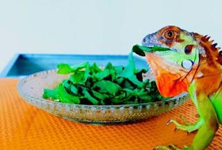 iguana merah super