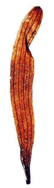 Palaeontologists find fossil relative of Ginkgo biloba plant