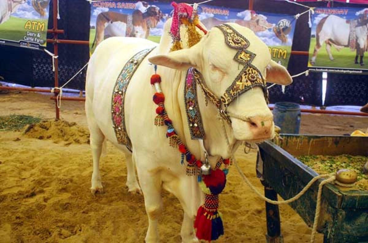 Free Download HD Wallpapers: Bakra Eid Cow Qurbani HD ...