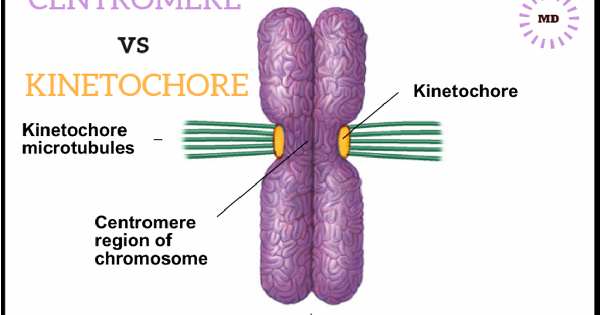 Chromosome Vs Chromatin 6 Differences Between Centromere And Kinetochore - Md