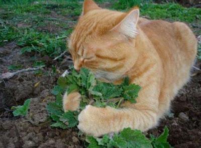 Kesan Catnip Pada Kucing