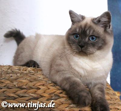BKH Kitten in silverpoint Züchter M.Gotttwald