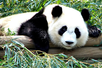 imagenes de osos panda traviesos