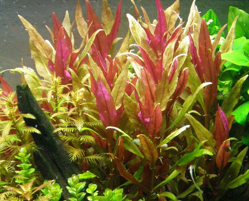 Cây thủy sinh huyết tâm lan lá dài nên được trồng ở vị trí trung cảnh, hậu cảnh