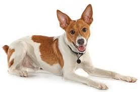 Anjing Ras Rat Terrier