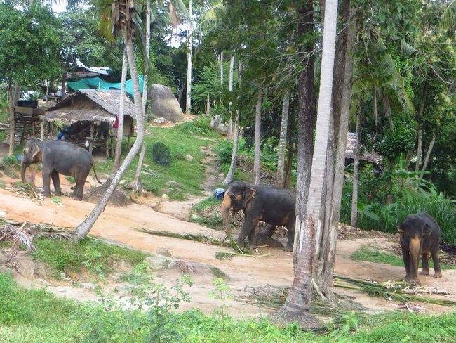 Фото слонов на острове Панган