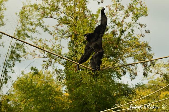 Bonobo, Bioparc Doué-la-Fontaine