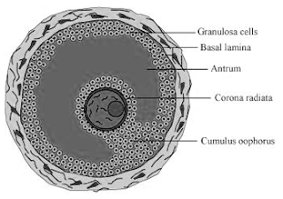 Diagram of Grafiaan follicle
