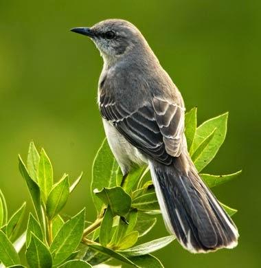 http://www.statesymbolsusa.org/Tennessee/Bird_Mockingbird.html