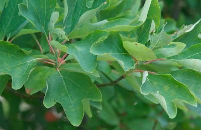 Sassafras (Sassafras albidum)