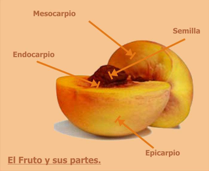partes de una fruta