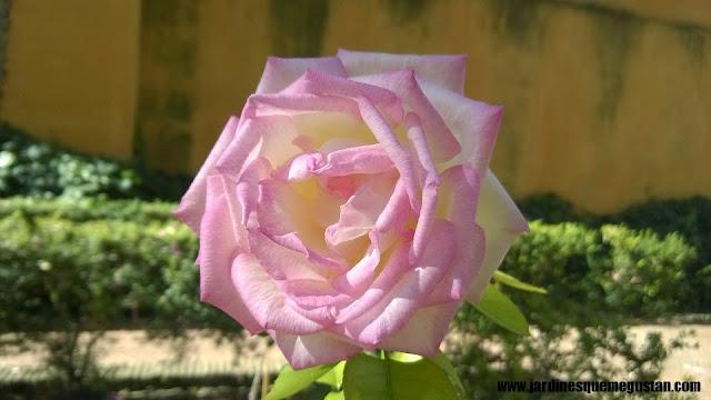 planta, rosal de flor rosada