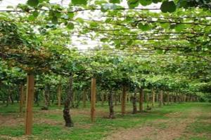 http://tipspetani.blogspot.com/2018/03/cara-menanam-tanaman-kiwi-dari.html
