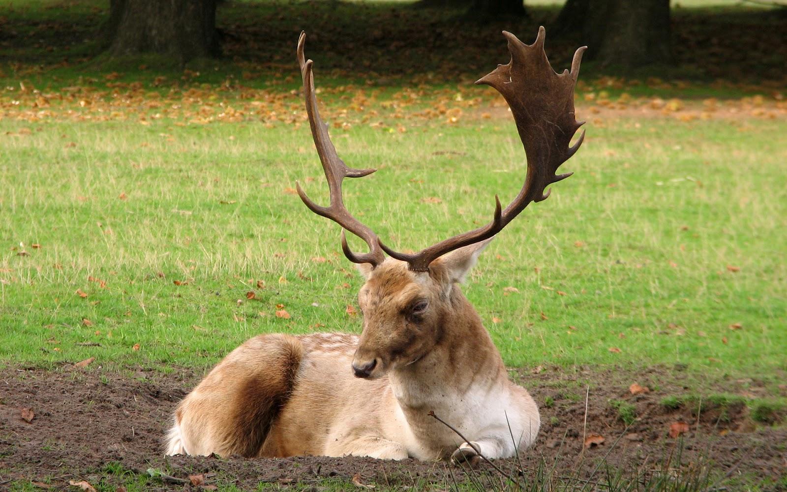 HD Wallpaper: Deer hd wallpapers