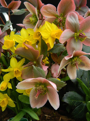 Helleborus x ericsmithii Pirouette and Jetfire daffodils Toronto Botanical Garden spring container by garden muses-not another Toronto gardening blog