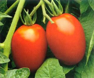 http://2.bp.blogspot.com/-zqvOxJZ2Pxg/US-0rhhC1xI/AAAAAAAAArg/laMhag8_vvg/s1600/plum+tomato.jpg