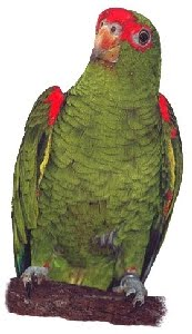 Papagaio-Charão (Amazona pretrei)