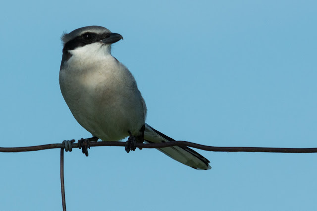 Loggerhead Shrike on Barbed Wire Fence
