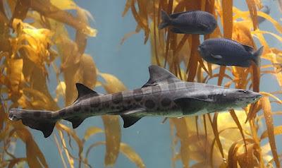 leopard-shark-القرش-النمر