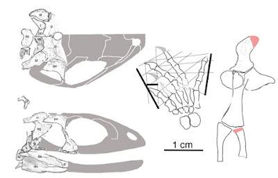 Oedaleops skull