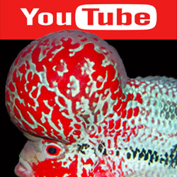 ดูวีดีโอ ปลาหมอสี อัพเดท See to our flowerhorn clip update NOW at https://www.youtube.com/user/flowerhornthailand