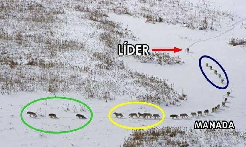 La Lección De La Manada De Lobos Y El Verdadero Liderazgo
