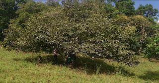 arbol viejo chirimoya con sombra choachi