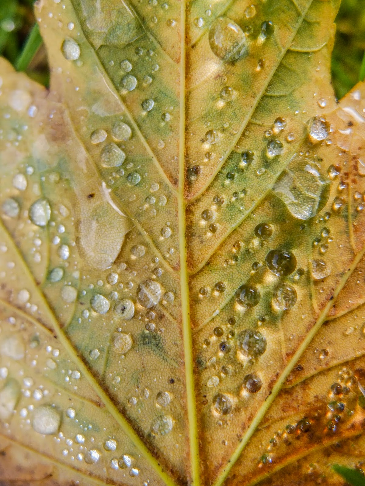 A macro of raindrops on the back side of a yellowing Maple tree leaf.