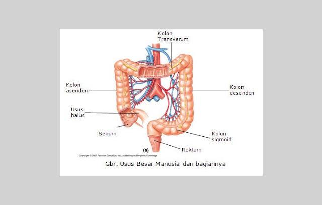 Gambar bagian usus besar