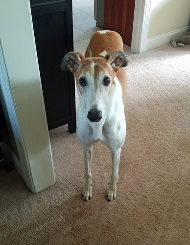 image of Dudley the Greyhound standing in the dining room, looking up at me with plaintive eyes