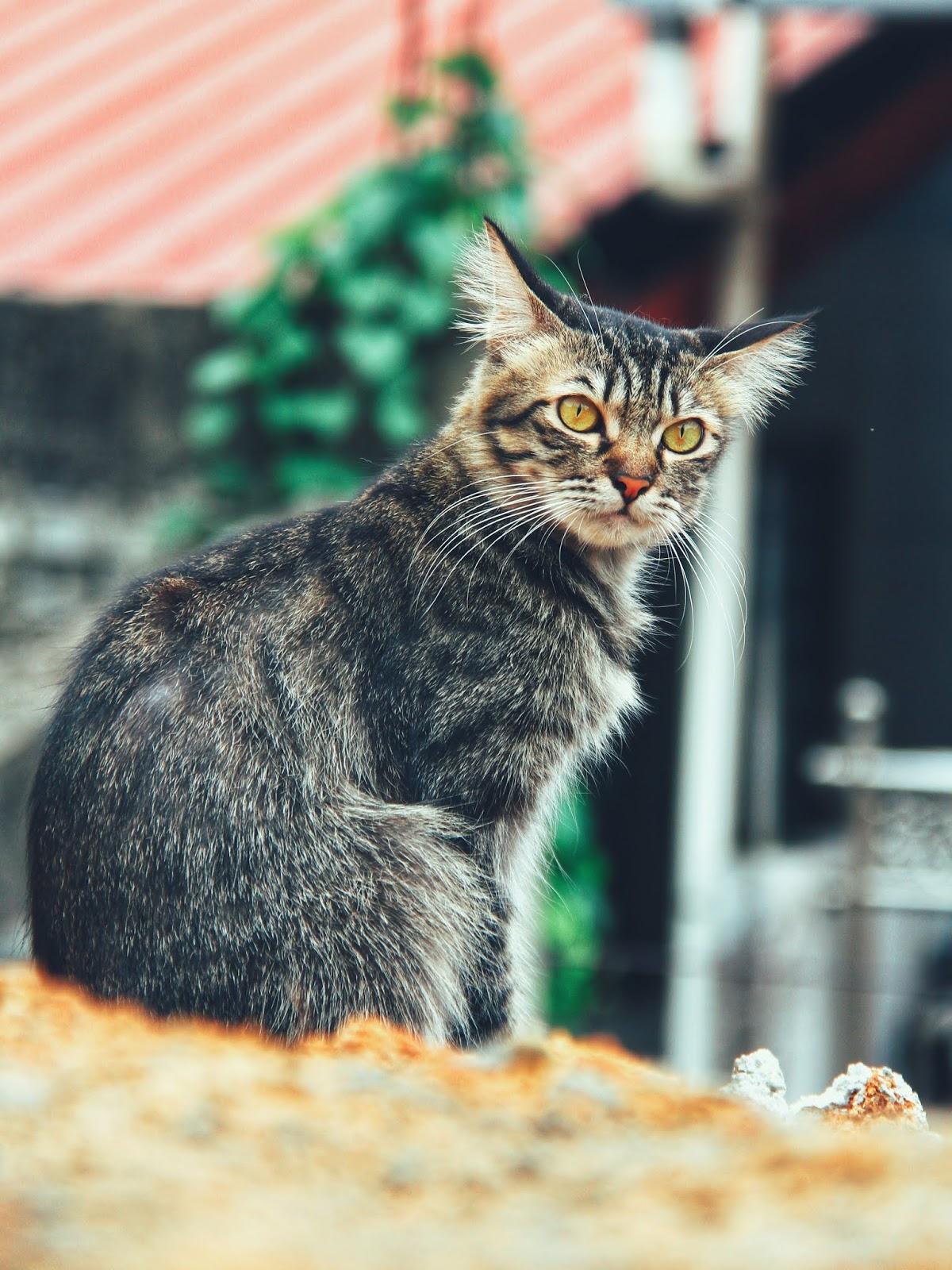20 Koleksi Gambar Kucing Comel Bernama Tambi 11