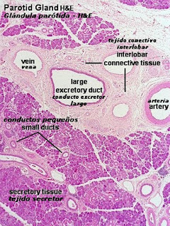 Glandulas salivales mayores histologia