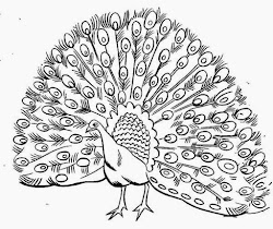 peacock coloring pages drawing realistic printable male open outline colour bird simple line adult peafowl kid its animal plumage cartoon